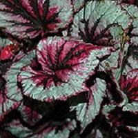 Begonia (Rex), Cherry Mint