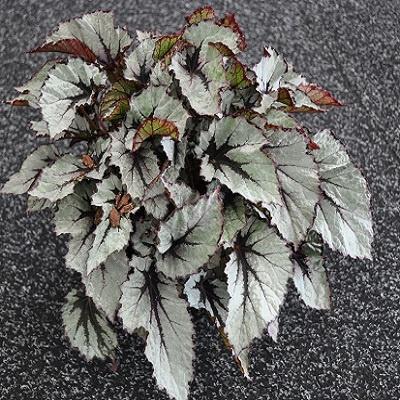 Begonia (Rex), Wintergreen