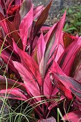 Cordylines, Red Hawaiian