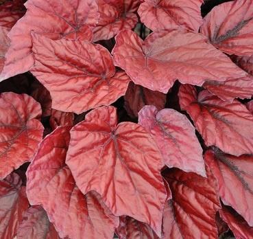 Begonia (Rex), Lava Red