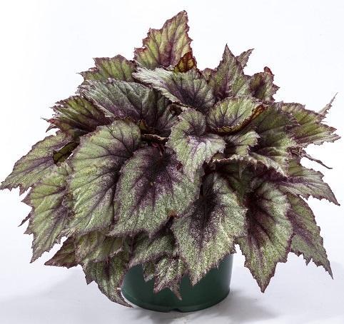 Begonia (Rex), Rose Frost
