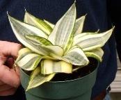 Snake Plant (Sansaveria), Gold Star Dwarf