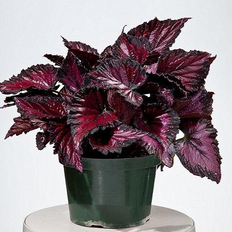 Begonia (Rex), Rothko