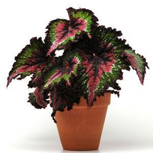 Begonia (Rex), Watermelon