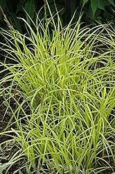 Grasses, Sedge