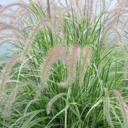 Grasses, Sky Rocket