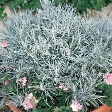 Helichrysum, Icicles