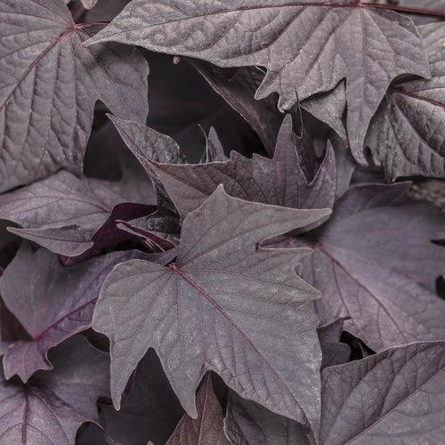 Ipomoea (Sweet Potato), Sweet Caroline Bewitched After Midnight