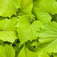 Ipomoea (Sweet Potato), Sweet Caroline Bewitched Green W/ Envy