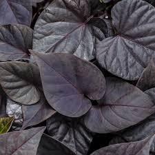 Ipomoea (Sweet Potato), Sweet Caroline Sweetheart Jet Black