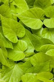 Ipomoea (Sweet Potato), Sweet Caroline Sweetheart Light Green