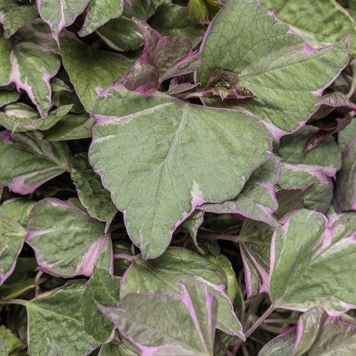 Ipomoea (Sweet Potato), Tricolor