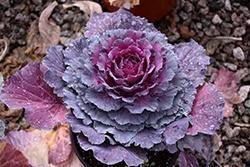 Cabbage, Ornamental