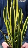 Snake Plant (Sansaveria), Black Gold Extreme