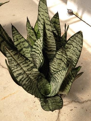 Snake Plant (Sansaveria), Eve