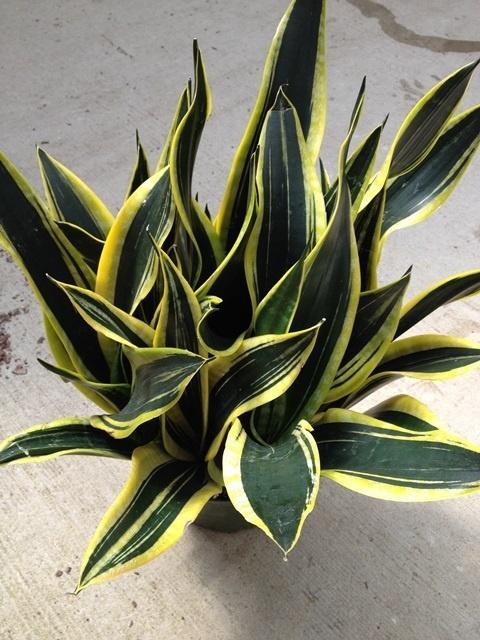 Snake Plant (Sansaveria), Kristi