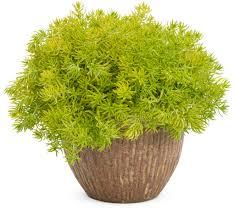 Sedum, Lemon Coral