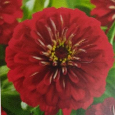 Zinna, Preciosa Red