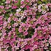 Allysum, Easter Bonnet Deep Pink