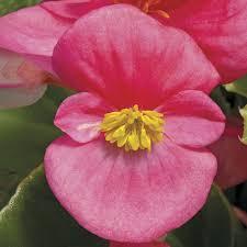 Begonia, Bada Bing Rose
