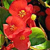 Begonia, Bada Bing Scarlet