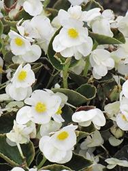 Begonia, Bada Bing White