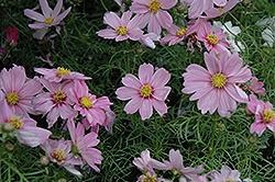 Cosmos, Sonata Pink Blush