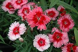 Dianthus, Super Parfait Strawberry