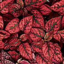 Hypoestes (Polk A Dot Plant), Splash Red