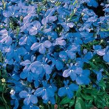 Lobelia, Rivera Sky Blue