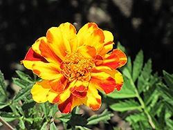 Marigold, Safari Bolero