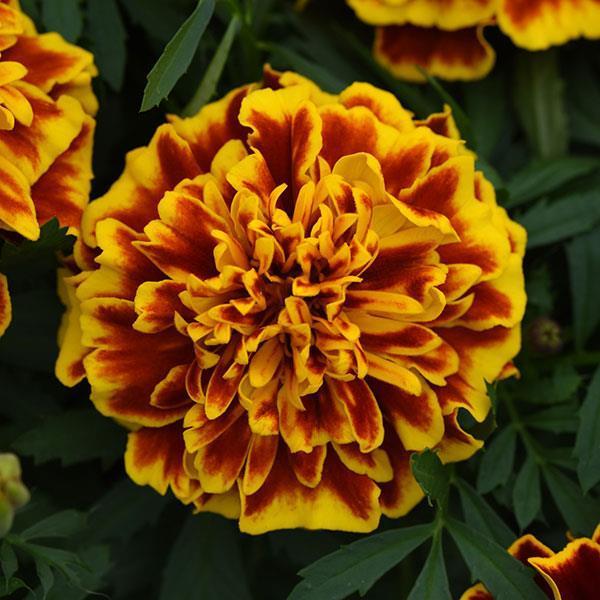 Marigold, Bonanza Bee