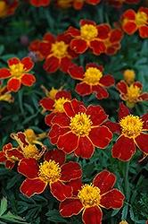 Marigold, Disco Red