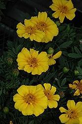 Marigold, Disco Yellow