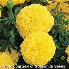 Marigold, Inca II Yellow