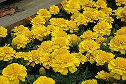 Marigold, Janie Yellow