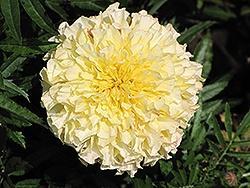 Marigold, Vanilla (Tall)