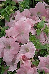 Petunia, Dreams Appleblossom