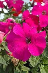 Petunia, Dreams Burgundy