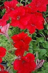Petunia, Dreams Red
