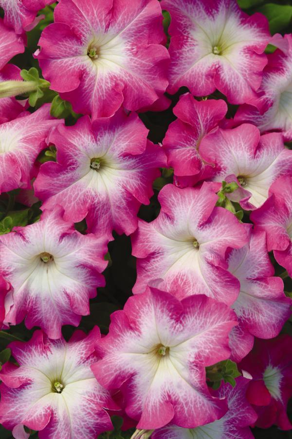 Petunia, Dreams Rose Morn