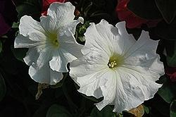Petunia, Dreams White