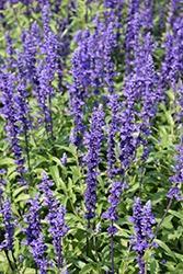 Salvia, Victoria Blue