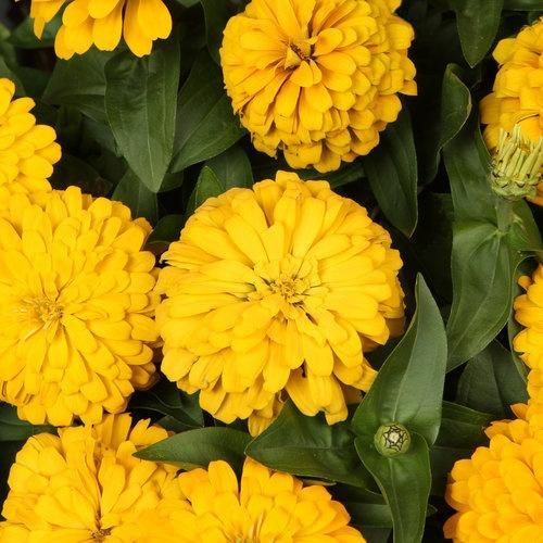 Zinna, Megellan Yellow
