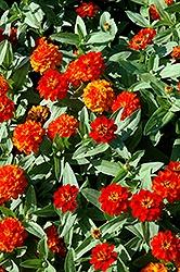 Zinna, Profusion Double Fire