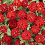 Zinna, Profusion Double Red