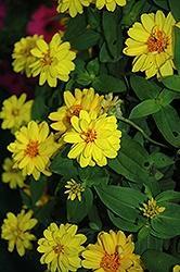 Zinna, Profusion Double Yellow