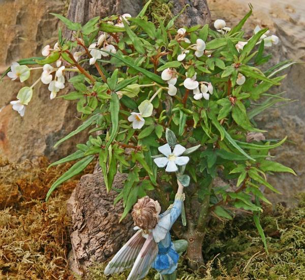 Begonia, Mini Maple Leaf