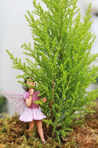 Cypress, Lemon Scented