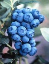 Blueberries, Duke